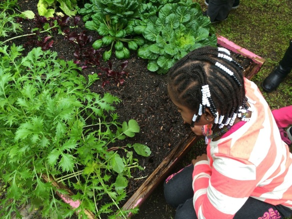 February 2014: Mrs. Donna Stoddard's 2nd grade class in Read-Pattillo Elementary, New Smyrna Beach (FL) are growing kale, radishes, sunflowers, parsley, cilantro, peas, sweet onions, carrots, kohlrabi, potatoes and green peppers in their school garden! Lucky students!