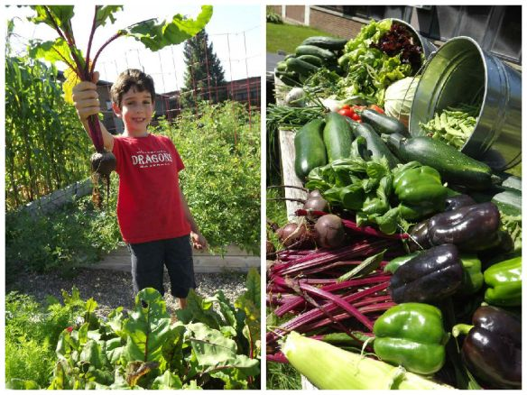 "THANKS to the Waterford Edible Schoolyard: ""72 pounds delivered to the kitchen today - bringing our total to 175+ lbs since June! The peas are in with a vengeance , tomatos are starting to ripen, and we can't seem to pick the cucumber and zucchini fast enough smile emoticon."""